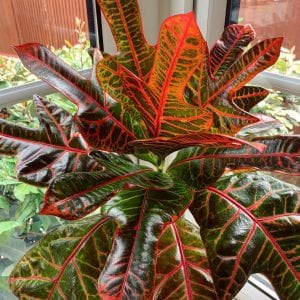 Croton. Foto: Reprodução/Instagram (@tropical_plant_addict)